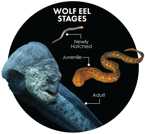 Wolf Eel stages